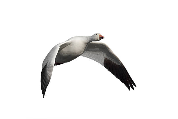 Snow Goose in flight Snow Goose (Chen caerulescens). Bird in flight. White cut outMORE SNOW GEESE snow goose stock pictures, royalty-free photos & images