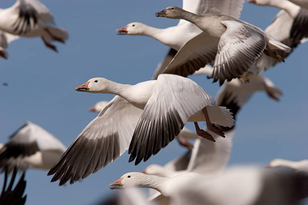 Snow Goose in flock A flock of Snow Geese (Chen caerulescens) after takeoff from a field at Bosque del Apache in New Mexico. The head of the bird in the center is in sharp focus. snow goose stock pictures, royalty-free photos & images