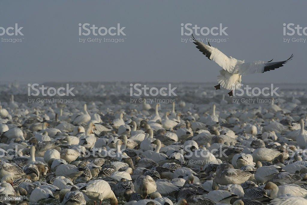 Snow Goose Landing royalty-free stock photo