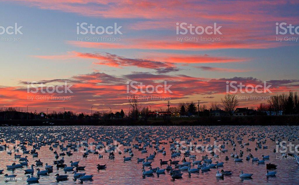 Snow Goose autumn migration in Quebec, Canada