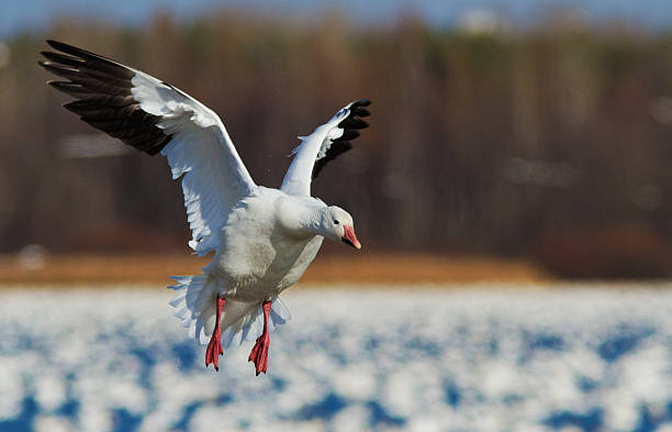 Snow Goose migration Snow Goose autumn migration in Quebec, Canada snow goose stock pictures, royalty-free photos & images
