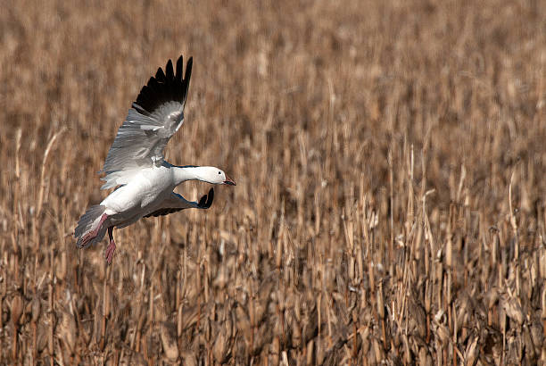 Snow Goose Over Corn Field Bosque Del Apache snow goose stock pictures, royalty-free photos & images