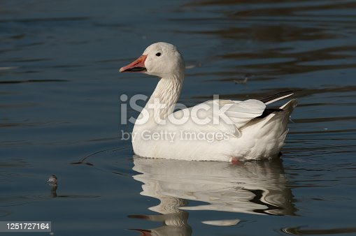 snow goose (Anser caerulescens)