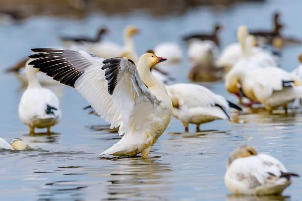 Snow Goose Snow Goose, CA, USA snow goose stock pictures, royalty-free photos & images