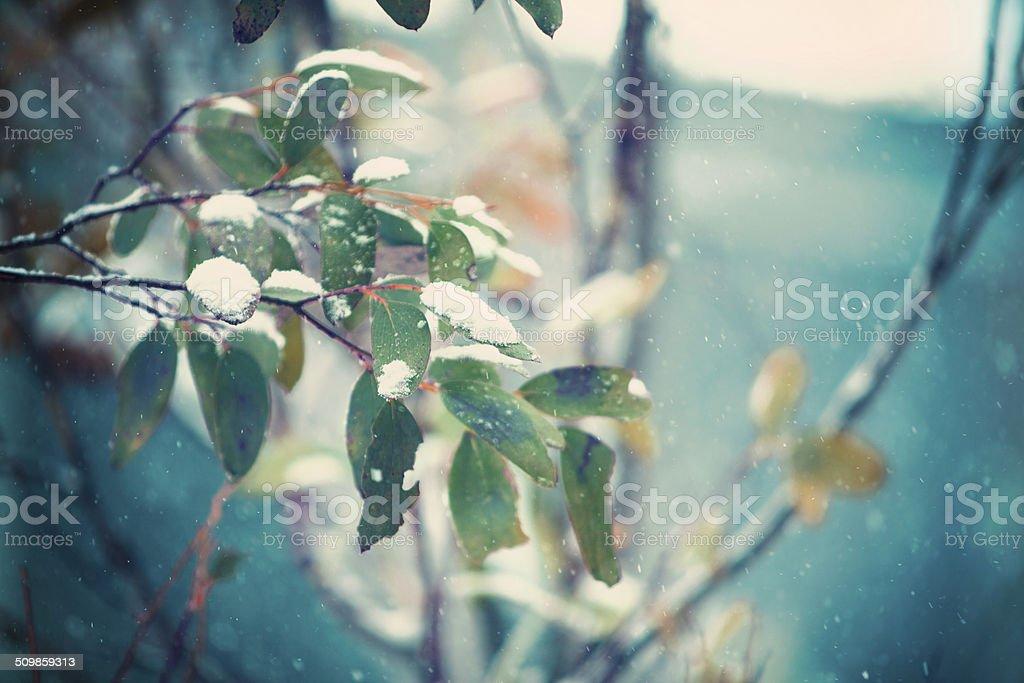 Snow Gums stock photo