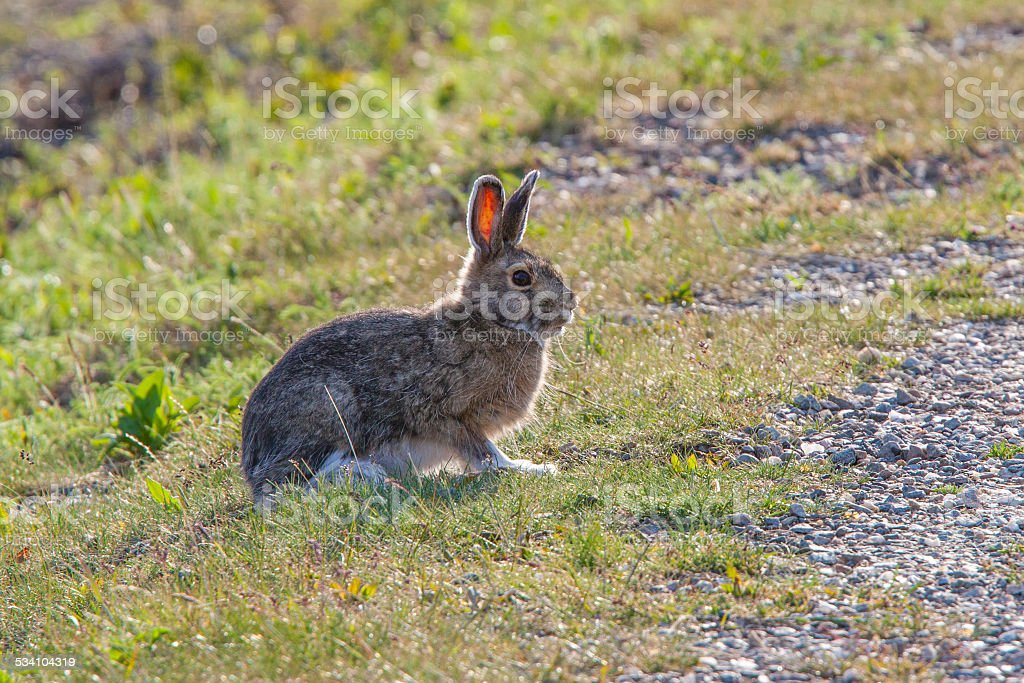 Snow Hare beside the road stock photo