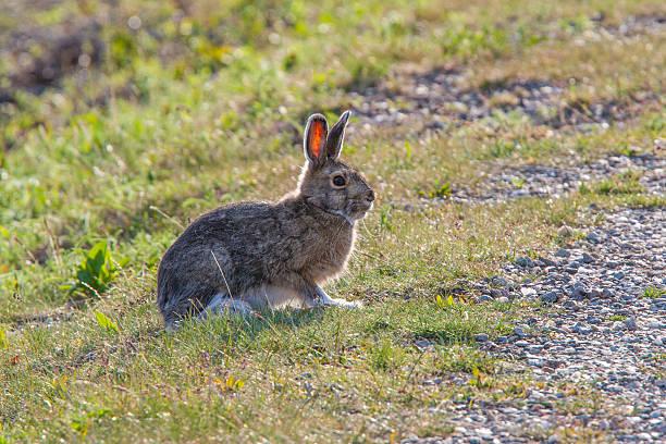 snow hare am road - schneeschuhhase stock-fotos und bilder