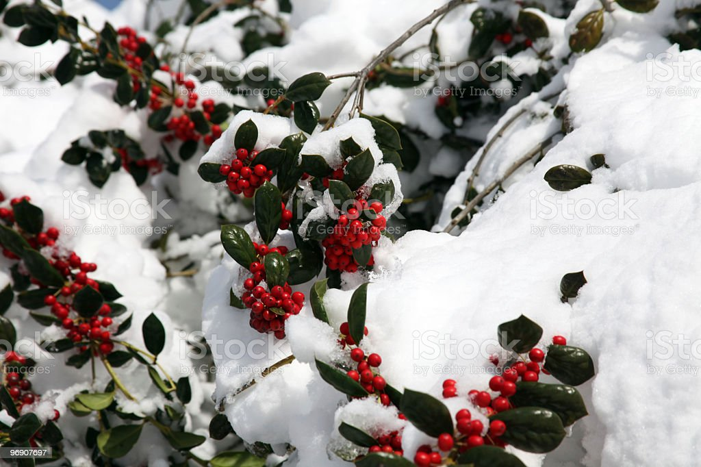Snow Holly II royalty-free stock photo
