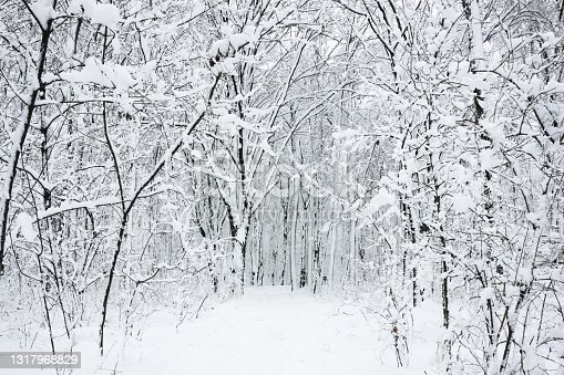 istock Snow in forest background. Winter forest texture. White snowy landscape. Outdoor park cold weather. 1317968829