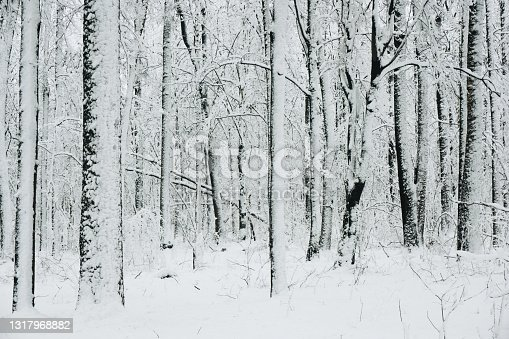 istock Snow in forest background. Winter forest texture. White snowy landscape. Outdoor park cold weather. 1317968882