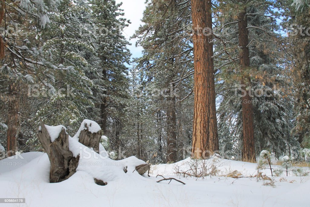 snow in the forest near Twin Peaks, California Snow covered trees and stump in the forest in the San Bernardino mountains. Twin Peaks, California California Stock Photo