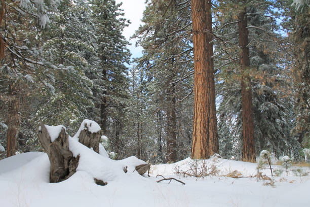 snow in the forest near Twin Peaks, California stock photo