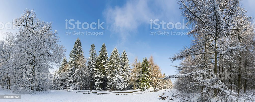 Snow in the forest panorama timber stacks and conifers royalty-free stock photo