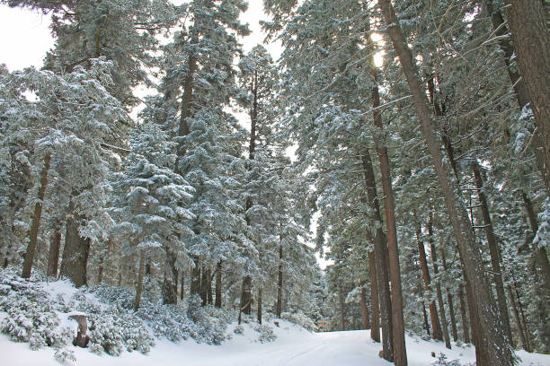 Snow in the forest Twin Peaks, California stock photo
