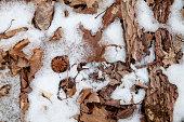 Dried leaves frozen in snow.