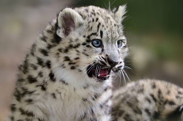 Royalty Free Snow Leopard Pictures, Images And Stock