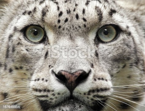 Close up of a beautiful snow leopard (Uncia uncia) with selective focus.