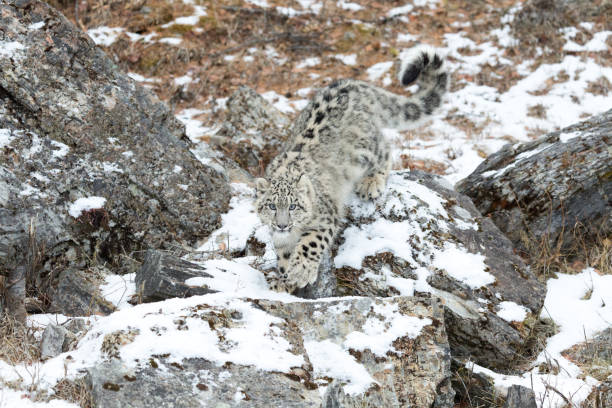 Snow Leopard Cub Creeping up Snowy Rocky Slope Looking stock photo