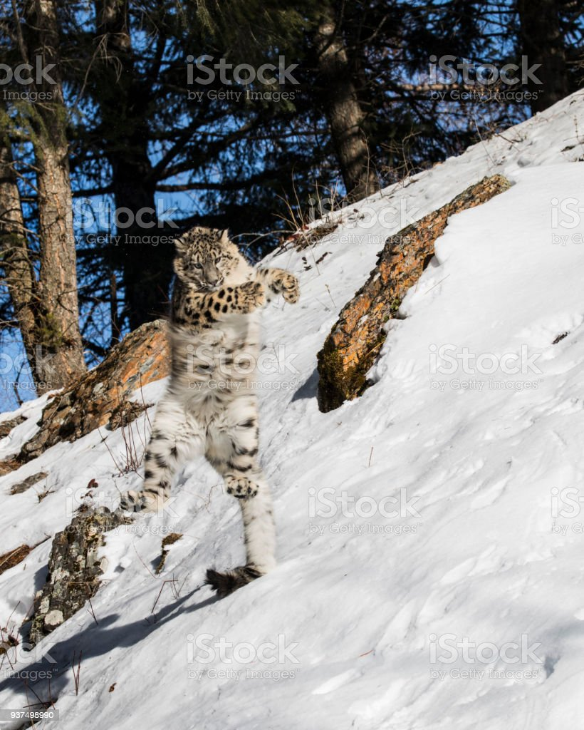 Snow Leopard cub dancing in the snow stock photo