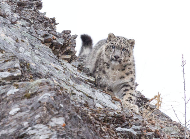 Snow Leopard Cub Emerges Over the Top of Rock Hill stock photo