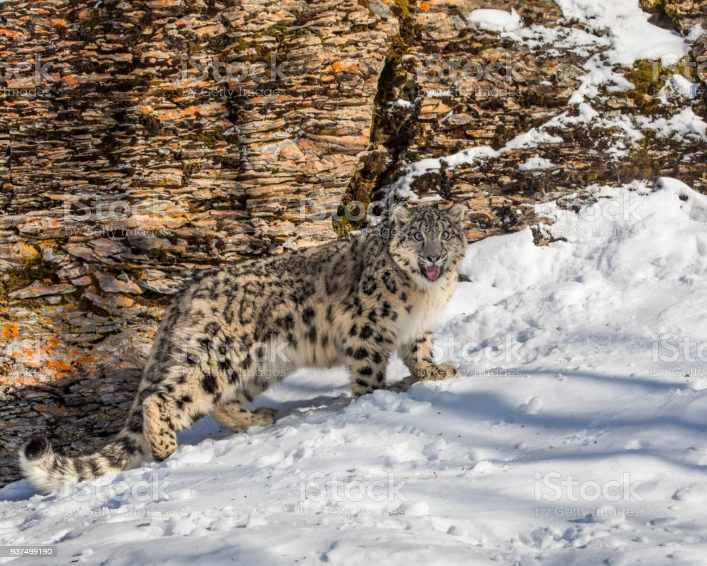 Snow Leopard cub in the snow stock photo