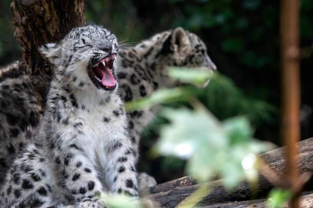 Schneefeldenjunge, Panthera uncia – Foto