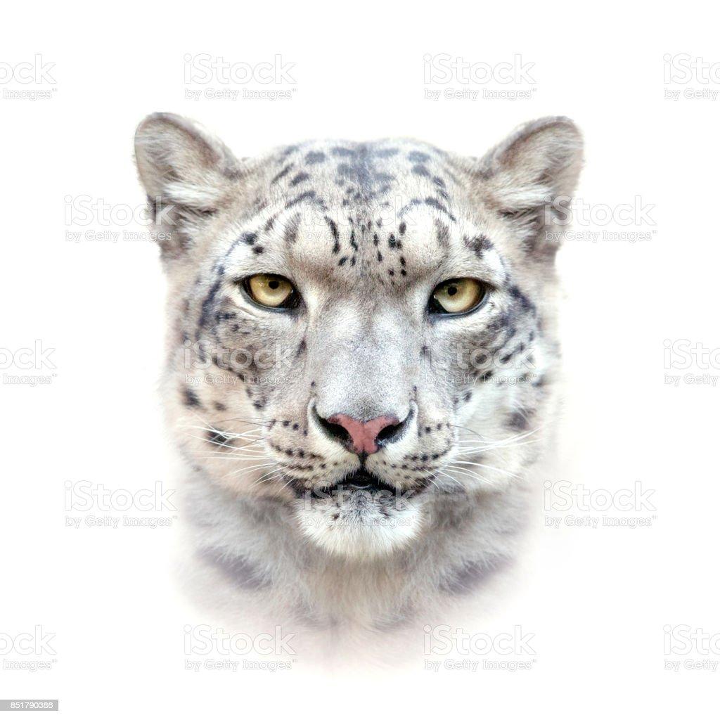 Fotografía de Leopardo De Las Nieves Cara Sobre Fondo Blanco y más ...