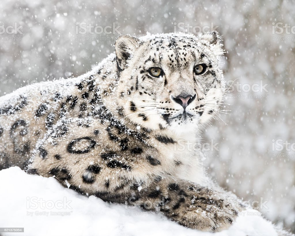 Snow Leopard In Snow Storm III stock photo