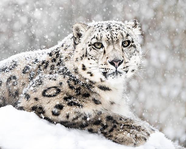 Snow Leopard In Snow Storm III stock photo