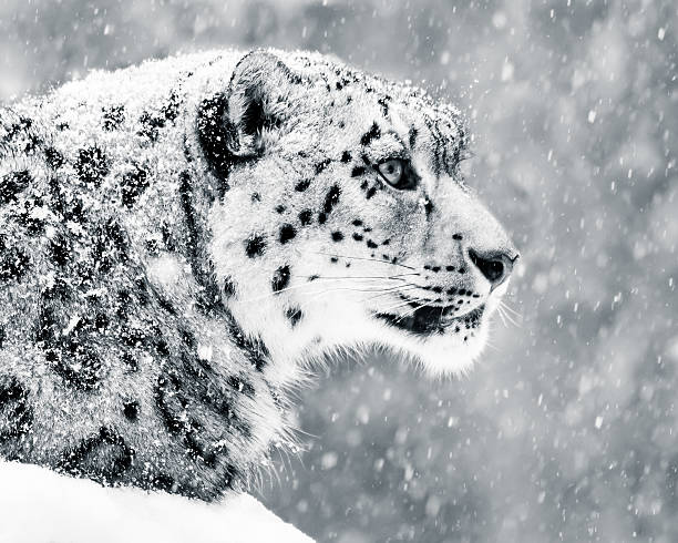 Snow Leopard in Snow Storm V stock photo