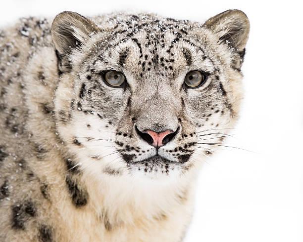 Snow Leopard in Snow V stock photo