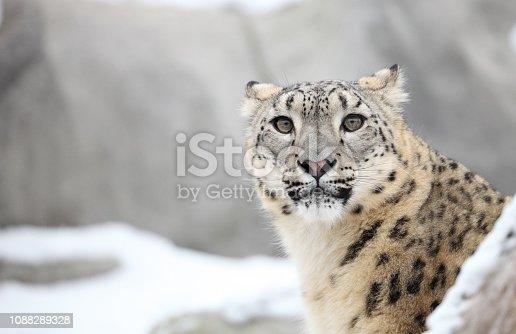 Snow Leopard in Warsaw ZOO