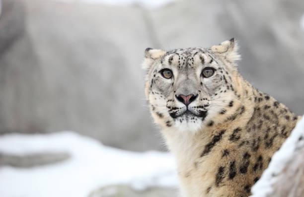 Snow Leopard in Warschau ZOO – Foto