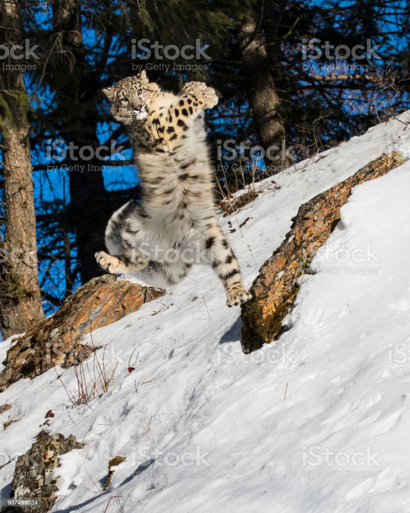 Snow Leopard leaping in the air stock photo