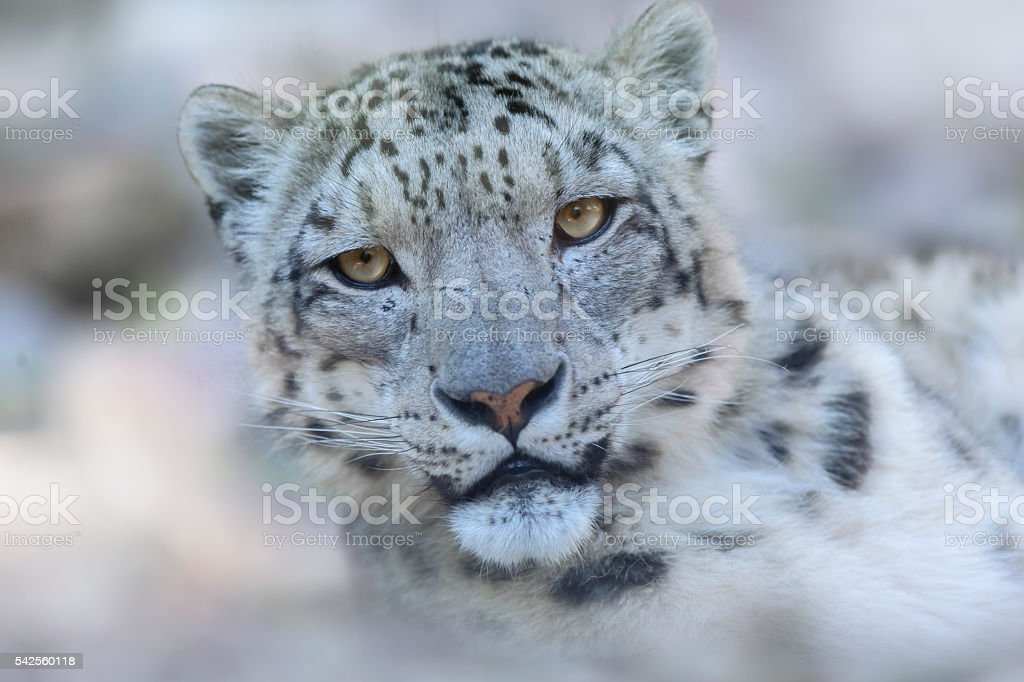 Snow leopard looking into camera stock photo