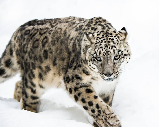 Snow Leopard on the Prowl IV stock photo