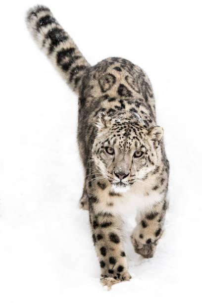 Snow Leopard on the Prowl IX stock photo