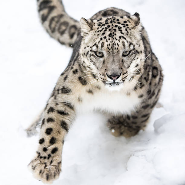 Royalty Free Snow Leopard Pictures Images And Stock Photos Istock