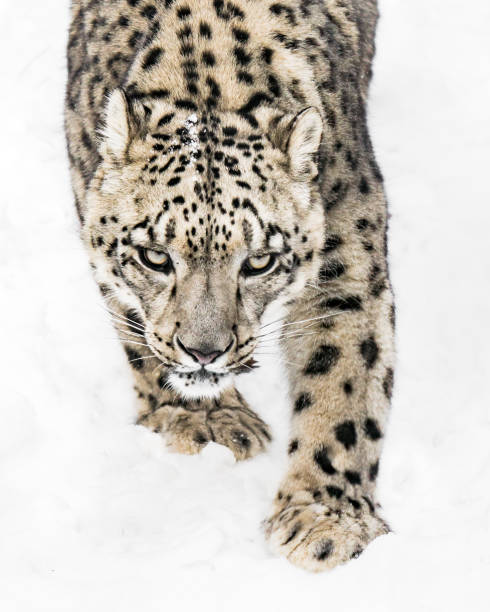 Snow Leopard on the Prowl X stock photo