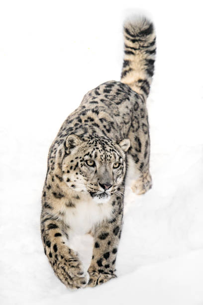 Snow Leopard on the Prowl XI stock photo