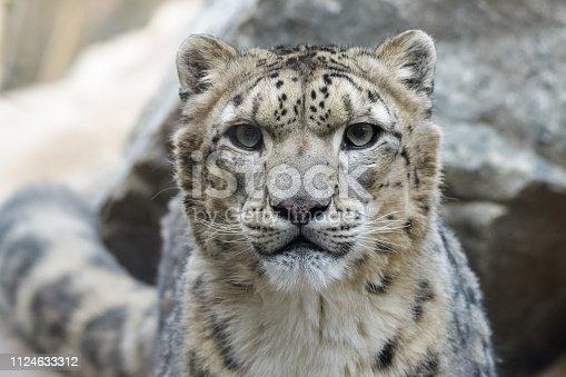 Closeup portrait of a male snow leopard