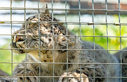 Snow Leopard close up portrait behind bars on a hot summer day. It is in an enclosure at the Cat Survival Trust Centre at Welwyn.  The trust does a huge amount to protect and rehome big cats from failing zoos or private collectors and is part of the world wide cat breeding programme.