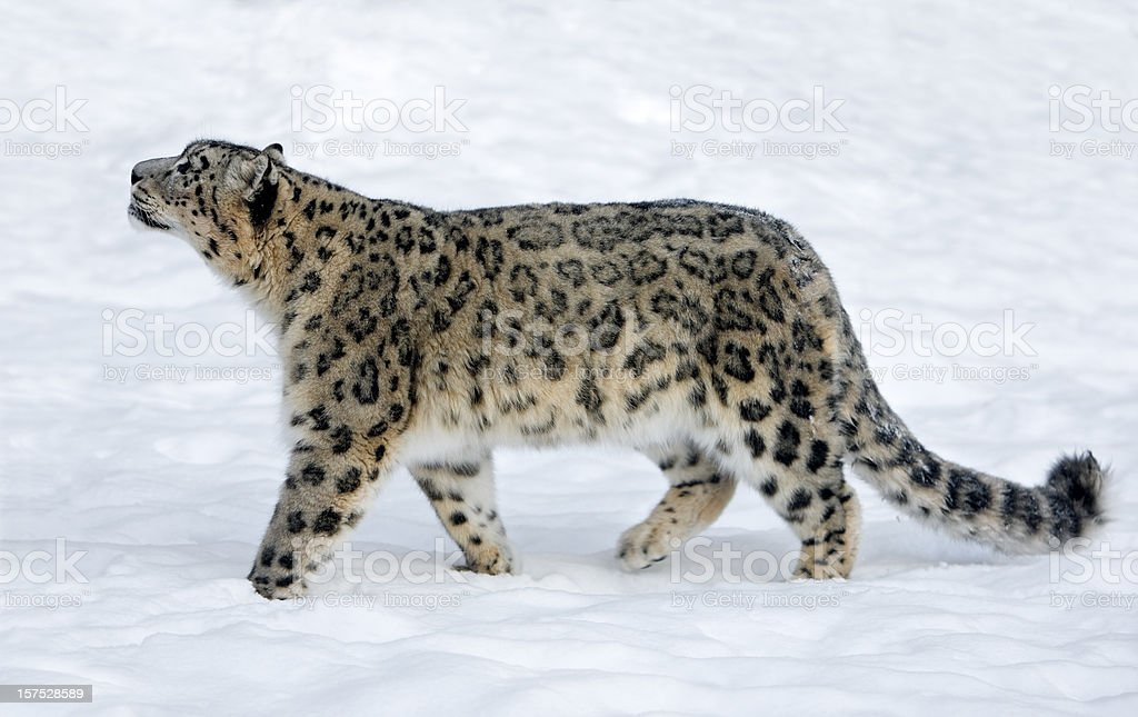 Snow Leopard (Panthera uncia) royalty-free stock photo