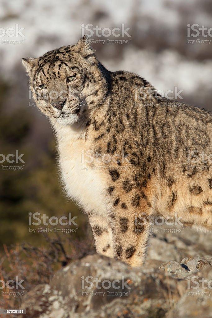 Snow Leopard – Foto