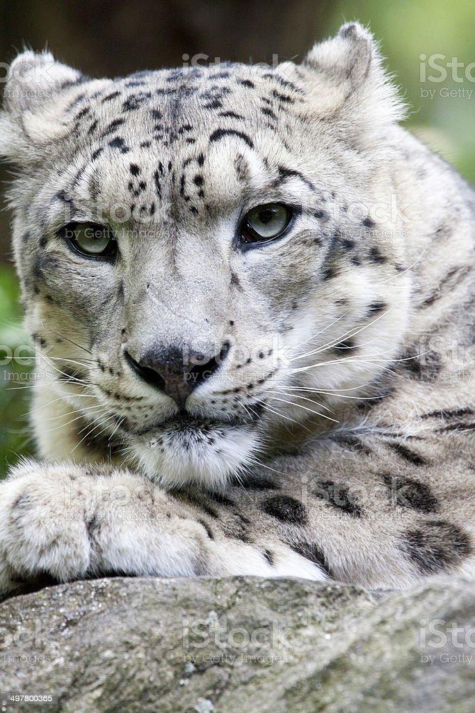 Snow leopard royalty-free stock photo
