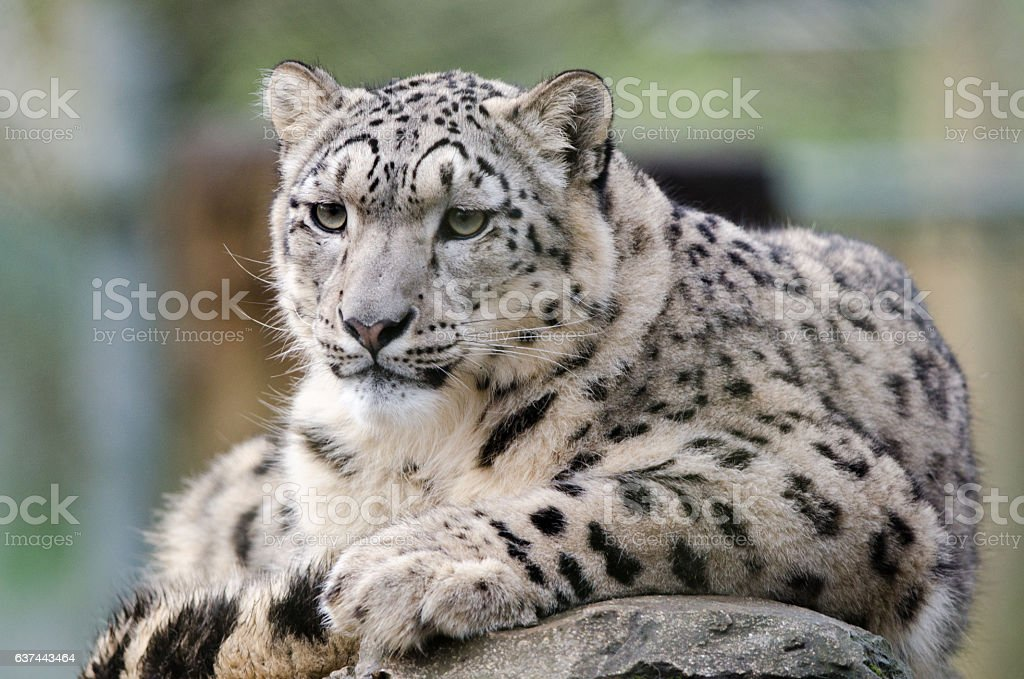 Snow Leopard royalty-free stock photo