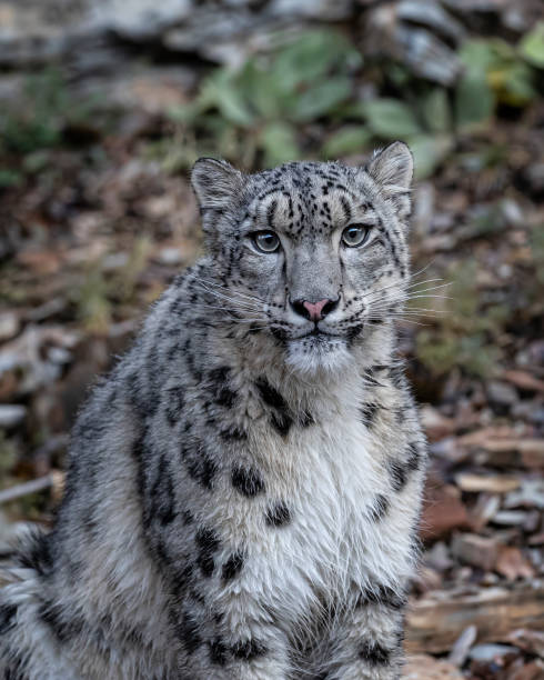 Snow Leopard playing n Fall colors in Kalispell Montana USA stock photo