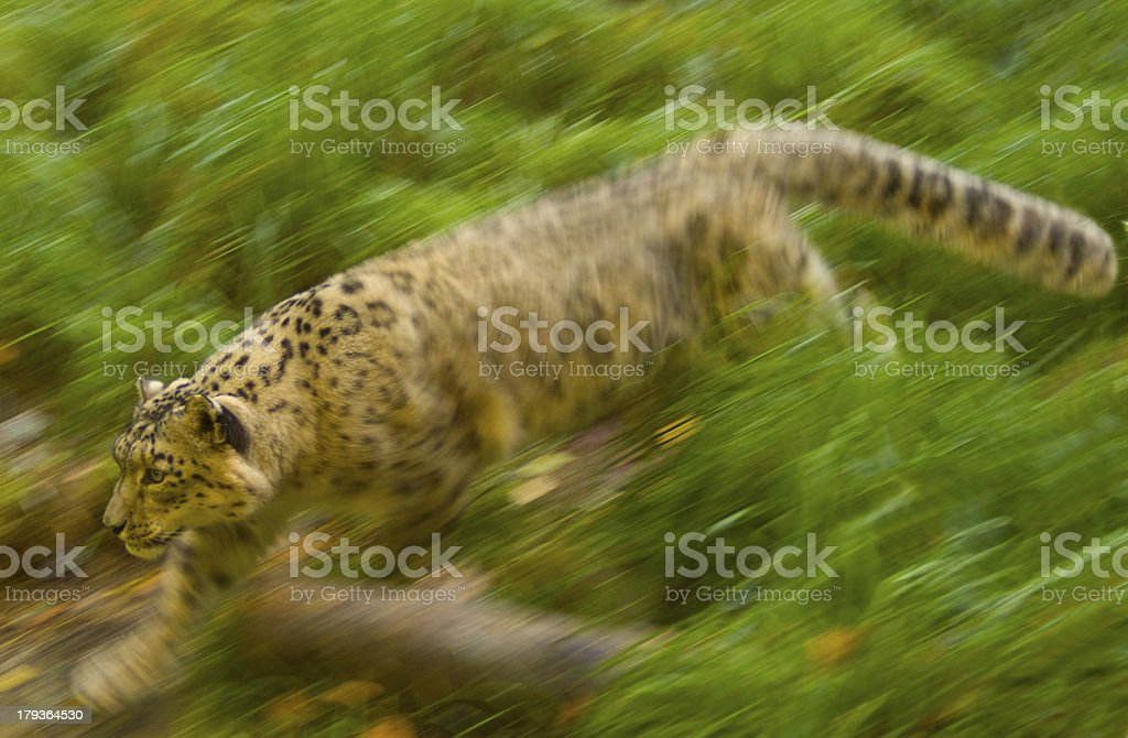 Snow Leopard - Seattle royalty-free stock photo