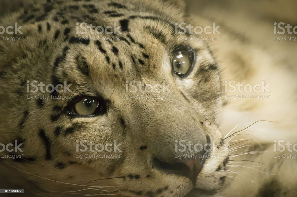 Snow leopard staring royalty-free stock photo