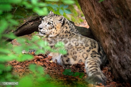 Snow leopard with green forest vegetation, Kashmir, India. Wildlife scene from Asia. Detail portrait of beautiful big cat, Panthera uncia. Wildlife scene from Asia.